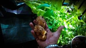Comment faire pousser des pommes de terre